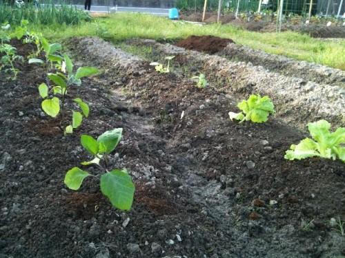 家庭菜園:苗植えしました!
